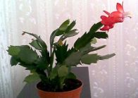 Мой кактус в домашних условиях